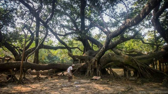 Tree with 100 foot long roots. Longest root in world at kokrajhar Assam